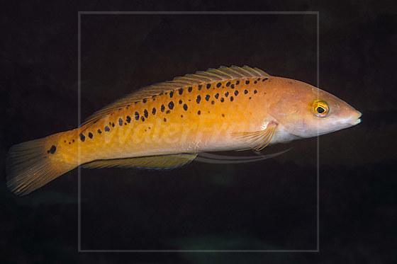 Rock Lippfisch / Rock Wrasse / Halichoeres semicinctus