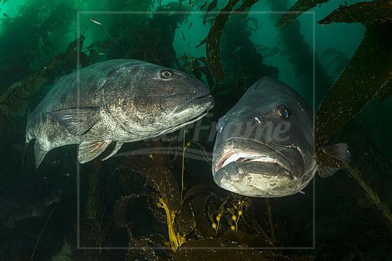 Pazifik-Riesenbarsche in Kelpwald / Giant Sea Bass in Kelp Forest / Stereolepis gigas