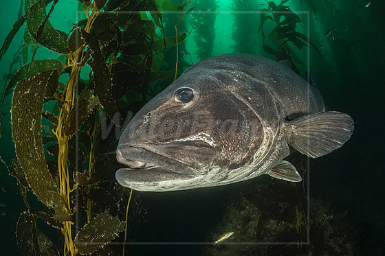 Pazifik-Riesenbarsch in Kelpwald / Giant Sea Bass in Kelp Forest / Stereolepis gigas