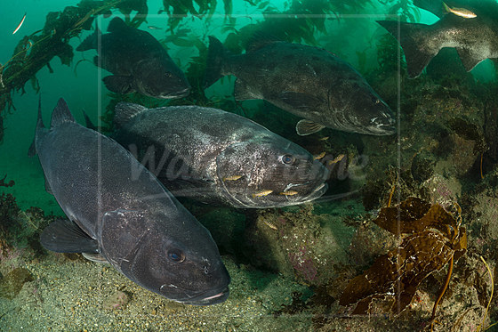 Pazifik-Riesenbarsche in Kelpwald / Giant Sea Bass in Kelp Forest / Stereolepis gigas