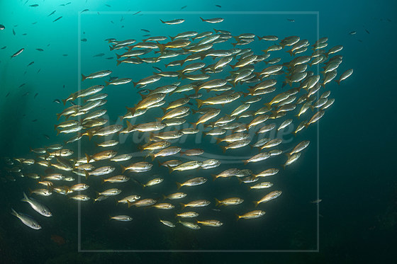 Schwarm Kalifornische Grunzer / Shoal of Californian Salema / Xenistius californiensis