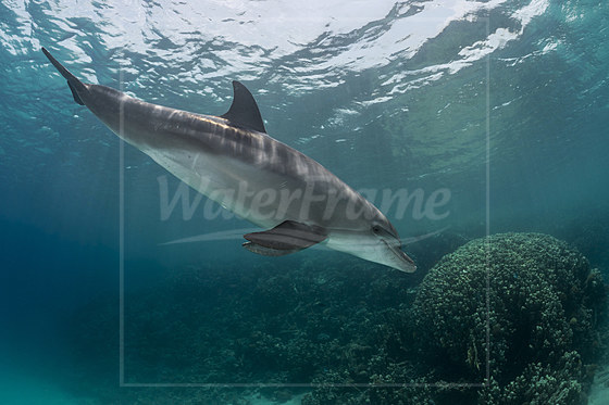 Rotmeer-Tuemmler / Indian Ocean Bottlenose Dolphin / Tursiops aduncus