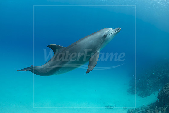 Rotmeer-Tuemmler / Indian Ocean Bottlenose Dolphin  / Tursiops aduncus