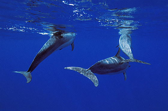 Spinnerdelphine / long-snouted spinner dolphins / Stenella longirostris