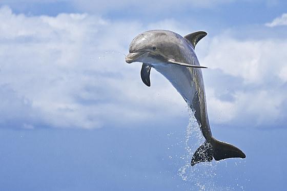 Grosser Tuemmler / Juvenile Bottlenose Dolphin / Tursiops truncatus