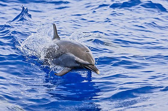 Pantropischer Fleckendelfin / Pantropical Spotted Dolphin / Stenella attenuata