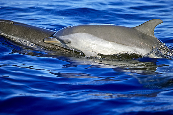 Pantropischer Fleckendelfine Mutter und Kalb / Pantropical Spotted Dolphin Mother and Calf / Stenella attenuata
