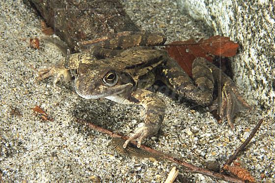 Springfrosch / Agile Frog Spring Frog / Rana dalmatina