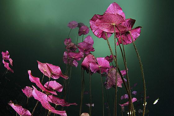 Wasserlilien in Carwash Cenote / Water Lilies in Aktun Ha Carwash Cenote / Nymphaea