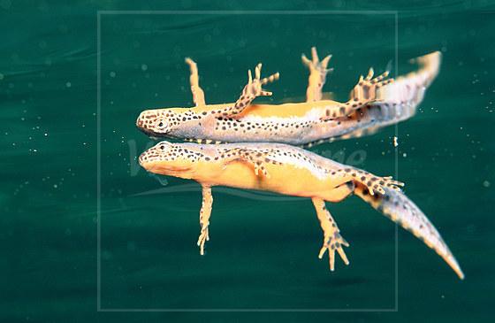 Bergmolch Schwanzlurch / Newt Salamander / Triturus alpestris