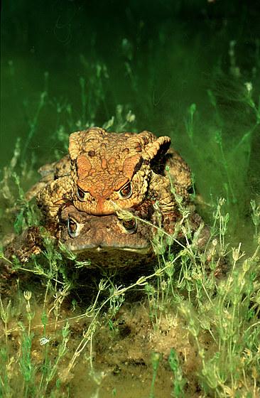 Erdkroetenpaarung / Mating toads / Bufo bufo