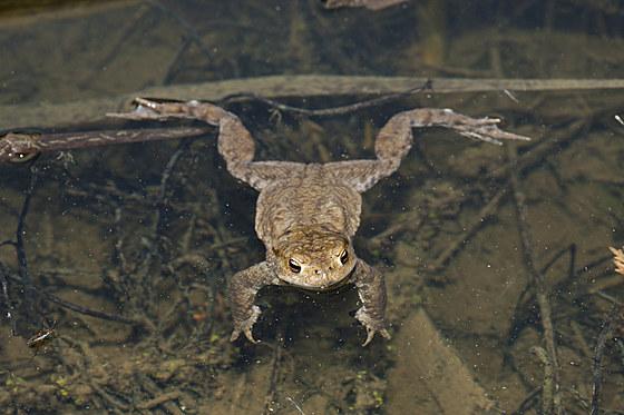 Erdkroete in Biotop / Toad in Biotope / Bufo bufo
