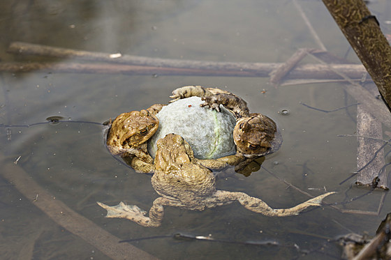 Erdkroeten klammern Tennisball in Paarungsstimmung / Toads cling to Tennis Ball in Mating Season / Bufo bufo
