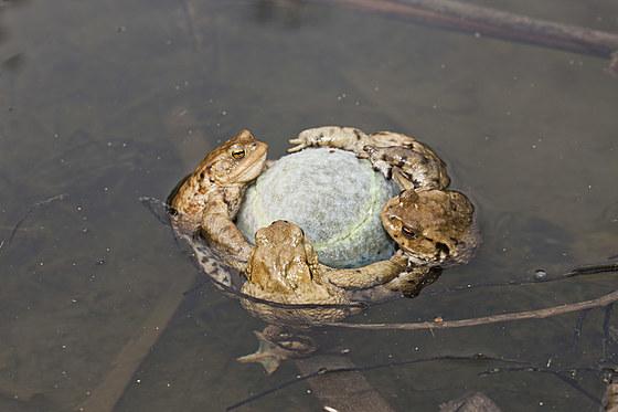 Erdkroeten klammern Tennisball in Paarungsstimmung / Toads cling to Tennis Ball in Mating Season / Bufo bufo