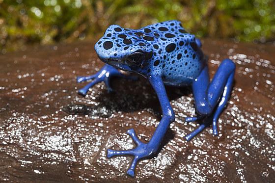 Blauer Pfeilgiftfrosch / Blue Poison Dart Frog / Dendrobates tinctorius azureus