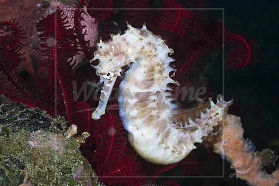 Dorniges Seepferdchen / Thorny Seahorse / Hippocampus histrix