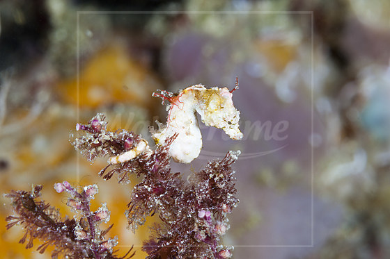 Colemans Zwergseepferdchen / Colemans Pygmy Seahorse / Hippocampus colemani