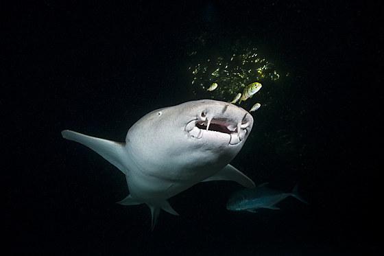 Ammenhai in der Nacht / Nurse Shark at Night / Nebrius ferrugineus