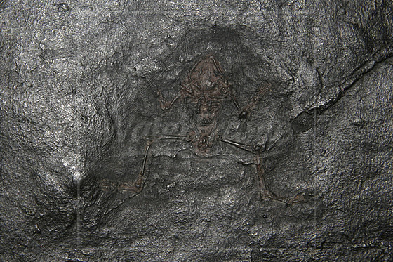 Fossiler Frosch 40 Millionen Jahre alt / Fossil frog 40 million years old / Propelodytes wagneri