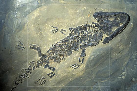Fossile Amphibie Urlurch Saurier Perm Erdzeitalter / Fossil Amphibian Permian Period / Sclerocephalus hauseri
