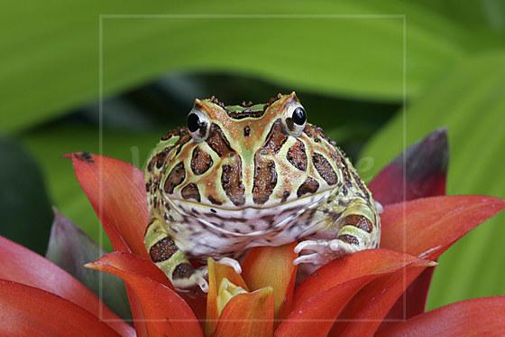 Argentinischer Schmuck-Hornfrosch / Argentinian Horned Frog / Ceratophrys sp.