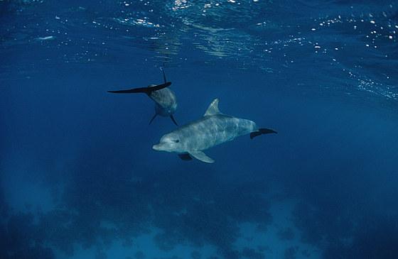 Rotmeer Tuemmler Delphine / Indian Ocean Bottlenose Dolphin / Tursiops aduncus