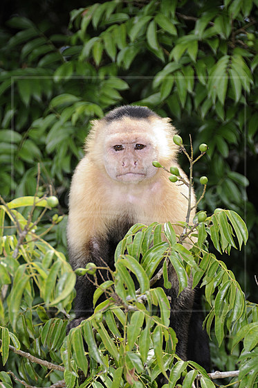Panama-Kapuzineraffe / White-headed Capuchin Monkey / Cebus capucinus imitator