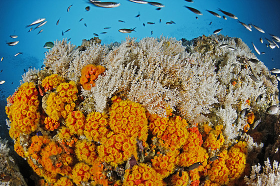 Buntes Riff mit Orangen Kelchkorallen / Coral Reef with Orange Cup Corals / Tubastraea coccinea