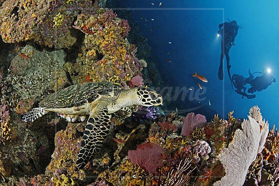 Echte Karettschildkroete und Taucher / Hawksbill Sea Turtle and scuba diver / Eretmochelys imbricata