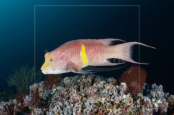 Mexikanischer Schweinslippfisch / Mexican Hogfish / Bodianus diplotaenia