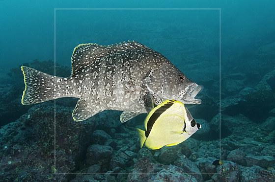 Leder-Zackenbarsch mit Barbier-Falterfisch / Leather Bass with Barberfish / Dermatolepis dermatolepis