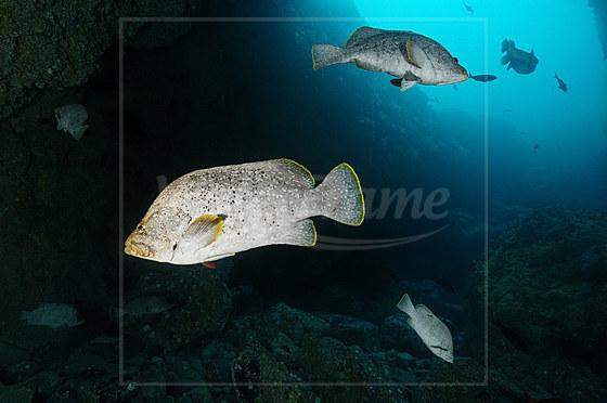 Leder-Zackenbarsch / Leather Bass / Dermatolepis dermatolepis