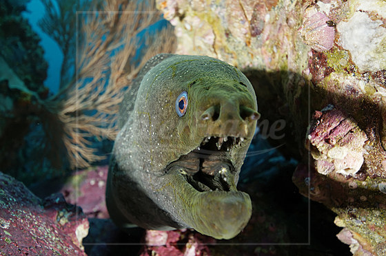 Gepunktete Muraene / Speckled Moray Eel / Gymnothorax dovii