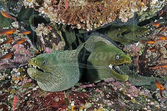 Gepunktete Muraenen / Speckled Moray Eel / Gymnothorax dovii
