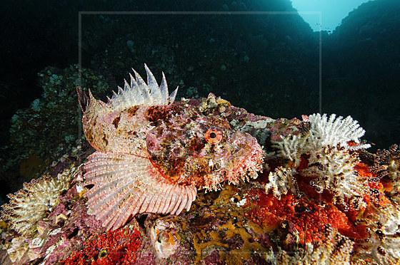 Gefleckter Drachenkopf / Pacific spotted Scorpionfish / Scorpaena mystes